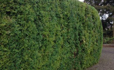 Arborvitae Trimming