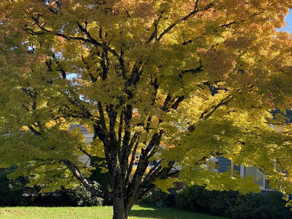 Large Japanese Maple which has been trimmed beautifully in fall with leaves turning from green to gold and red.